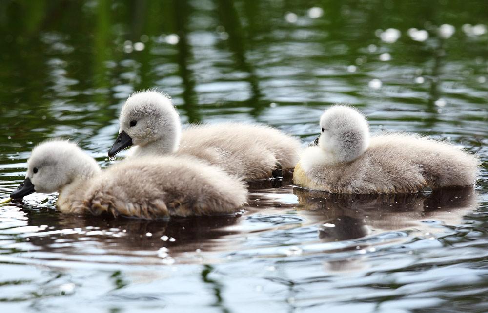 drie-jonge-zwaantjes
