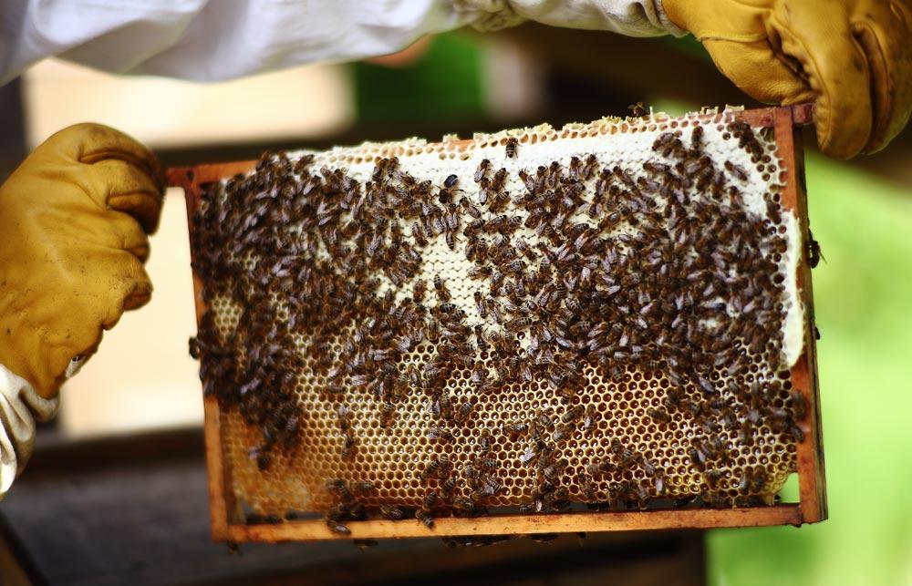 bijen-houden-heel-veel-honing